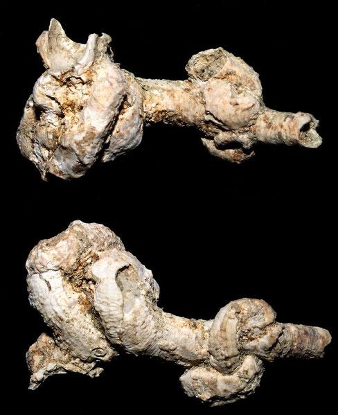 Petaloconchus deshayesi, Macchia della Turchina