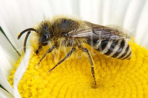 10.06.2017 : Seidenbiene an der weißen Färberkamille