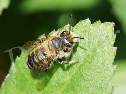 30.05.2020 : das erste (gesichtete) Blattschneiderbienen-Männchen, wahrscheinlich Garten-Blatttschneiderbiene, Megachile willughbiella