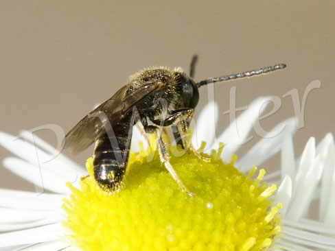 Bild: ein Schmalbienen-Männchen (Lasioglossum) trinkt Nektar am Einjährigen Berufkraut