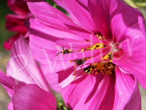 Bild: Männchen, Gelbbindige Furchenbiene, an einer Cosmeenblüte