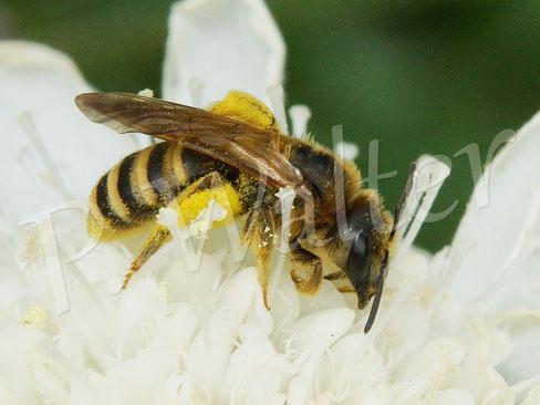 21.07.2019 : Weibchen der Gelbbindigen Furchenbiene, Halictus scabiosae, auf der weißen Skabiose
