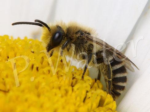 29.06.2016 : Seidenbiene auf einer Margerite