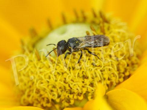 Bild: Löcherbiene, Osmia truncorum, an einer xxx-Blüte