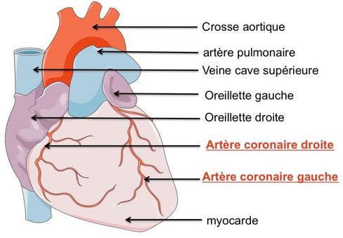 Anatomie externe du coeur de l'Homme. Source : ?