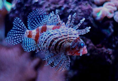 Dendrochirus brachypterus Kurzflossen-Zwergfeuerfisch