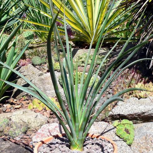 Yucca mixtecana fh 0347 Acatepec