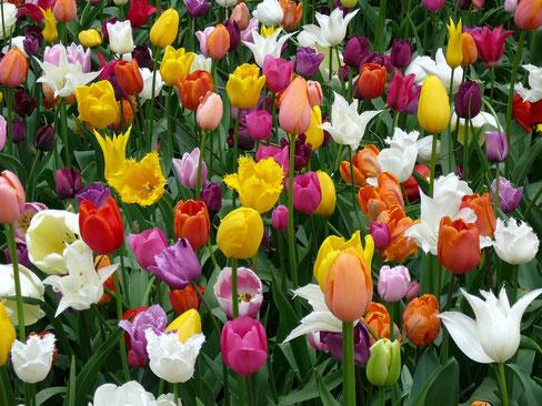 Buntes Tulpenbeet auf der igs Hamburg