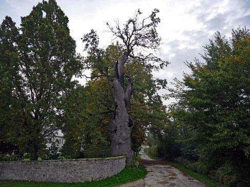 Mauereiche bei Hornoldendorf