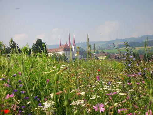 Das Kloster Muri scheint aus dieser Buntbrache zu wachsen.
