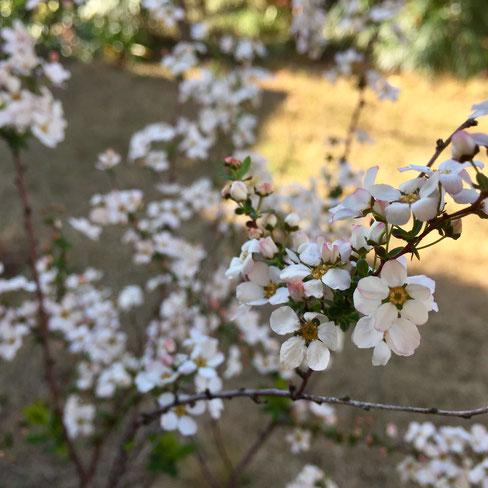 例年より寒いといってもやっぱそこは3月! 草木が動き始めてます♪ 満開の雪柳!