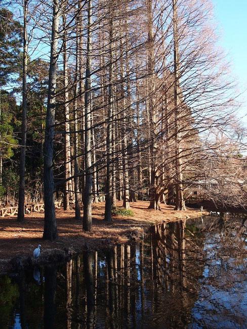 2月2日(2016)メタセコイアとサギが2羽:神代植物公園の池に、アオサギ(奥)とシラサギ(手前)が佇んでいました(1月25日)