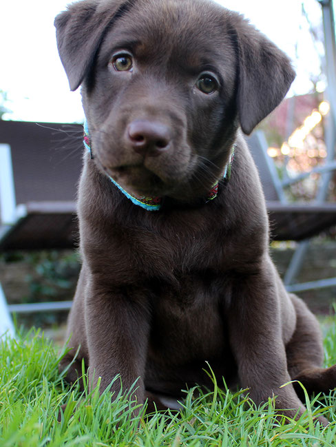 Labrador Welpe choco braun silberträger