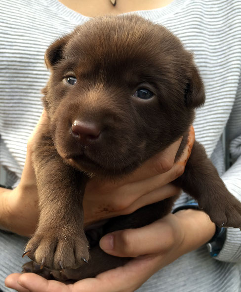 Labradorwelpe choco braun silberträger
