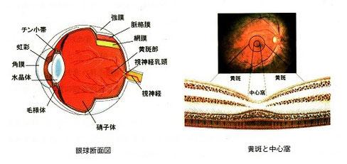 眼球と黄斑部の構造