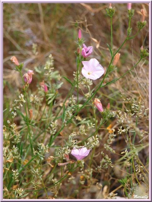 Liseron en fleurs et herbacées en bordure du chemin menant à la chapelle Notre Dame de Beauregard, village d'Orgon, entre Alpilles et Lubéron (13)