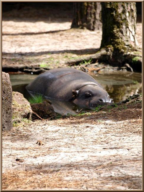 Hippopotame, Zoo du Bassin d'Arcachon, La Teste de Buch (33)