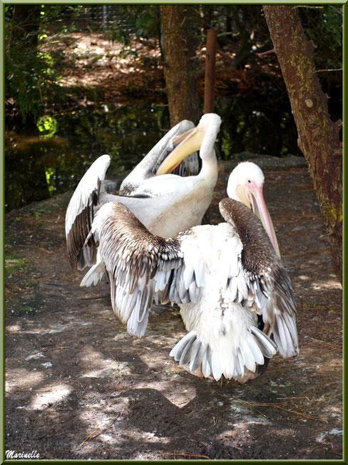 Pélicans, Zoo du Bassin d'Arcachon, La Teste de Buch (33)