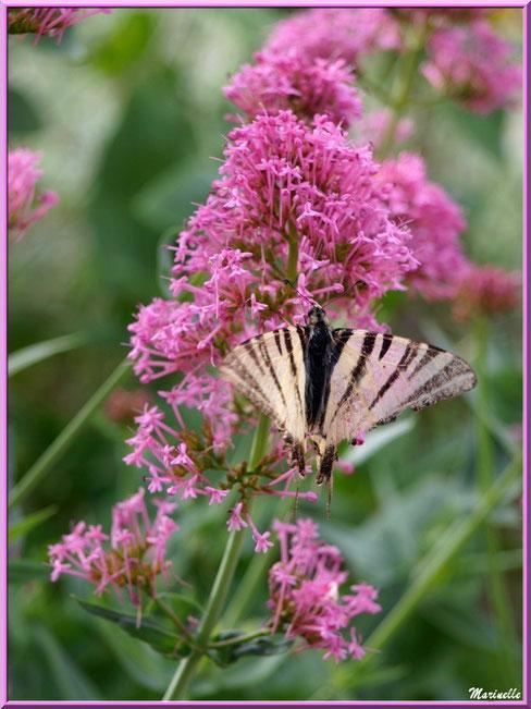 Papillon Flambé sur une valériane au détour d'une ruelle, Baux-de-Provence, Alpilles (13)
