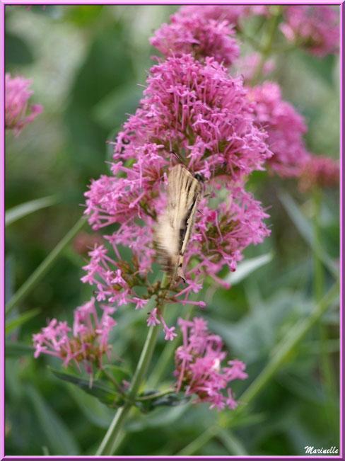 Papillon Flambé en volée sur une valériane au détour d'une ruelle, Baux-de-Provence, Alpilles (13)