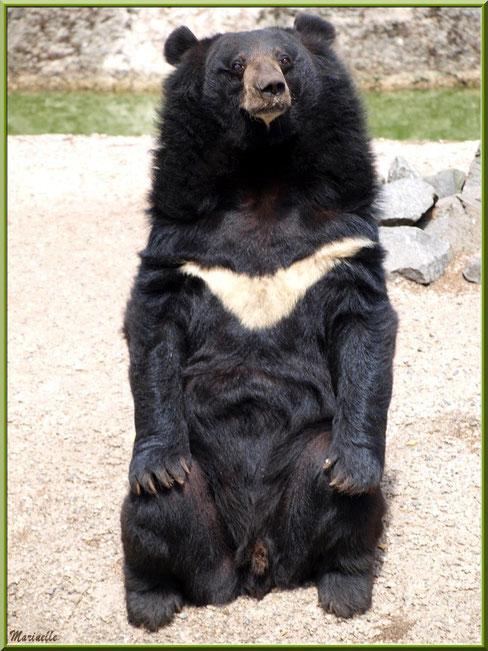 Ours à collier, Zoo du Bassin d'Arcachon, La Teste de Buch (33)