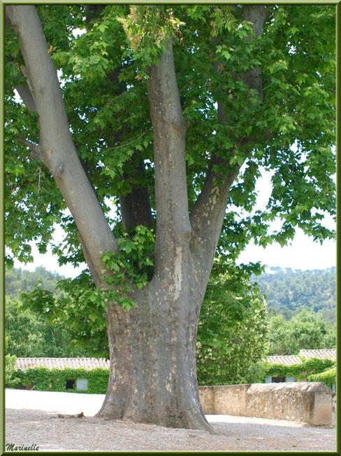 Platane centenaire devant le parvis de l'abbaye de Silvacane, Vallée de la Basse Durance (13)