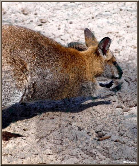 Wallaby de Benett, Zoo du Bassin d'Arcachon, La Teste de Buch (33)