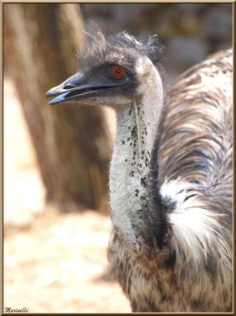 Emeu, Zoo du Bassin d'Arcachon, La Teste de Buch (33)
