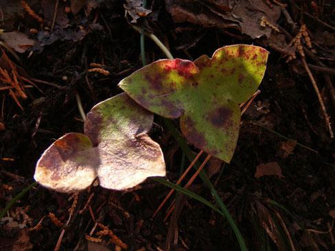 ミスミソウの葉