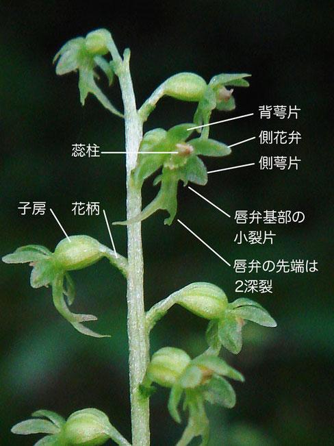コフタバランの花の構造(背萼片、側花弁、側萼片、唇弁、蕊柱、子房、花柄)