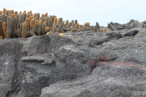Eine Galápagos Kreuzfahrt zur noch jungen Insel Fernandina ist ein wunderbares Erlebnis!