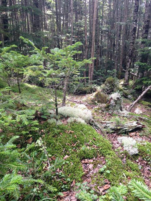 北八ヶ岳は苔やキノコの種類が豊富でした。そういえば「北八ヶ岳苔サミット」のポスターを見たことがあった。