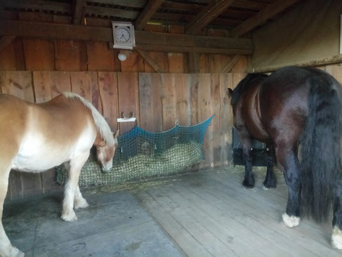 Amor und Willi gemeinsam im Stall beim Heufressen :-)
