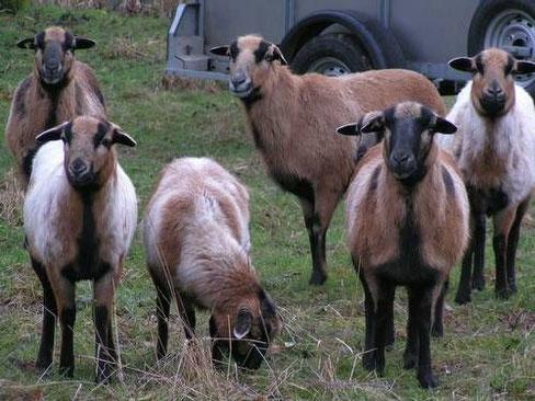 Kamerun-Schafe