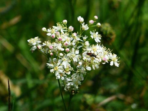Mädesüß Blüte Käfer