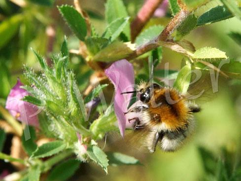 Bild: eine Ackerhummel, Bombus pascuorum, an den Blüten der Hauhechel