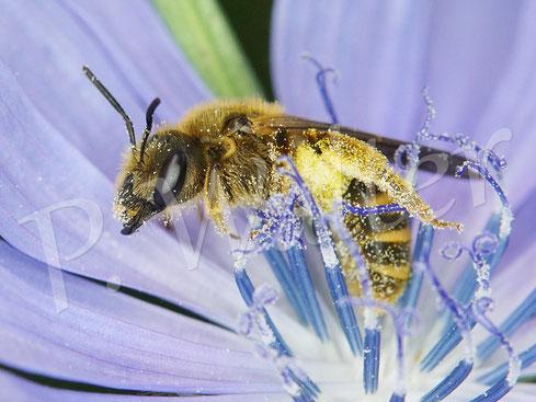 Bild: Weibchen der Gelbbindigen Furchenbiene, Halictus scabiosae, an der Wegwarte