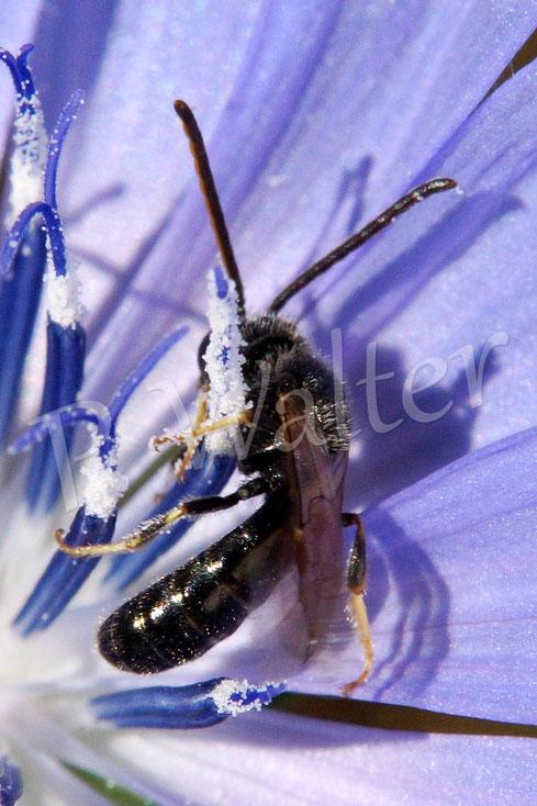 Bild: eine Schmalbienenart (?) an der Wegwarte