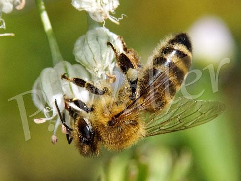 Bild: eine Honigbiene, Apis mellifera,  an den letzten Blüten des Porrees/Lauchs