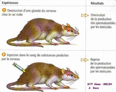 Expériences d'ablation d'une glande cérébrale chez le rat.