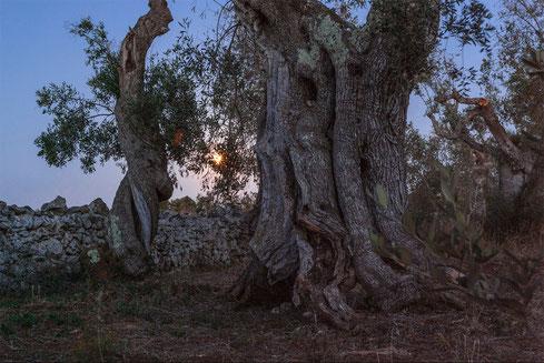 Lunga esposizione per rappresentare la magia del crepuscolo sugli ulivi secolari del Salento.