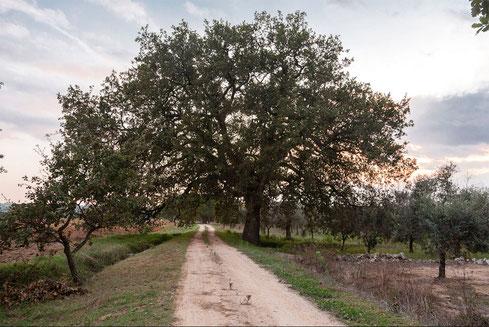 """La """"Roverella"""" di Scorrano, classificata tra gli alberi monumentali nazionali, questa foto ha partecipato al concorso """" Wiki Loves Monuments 2018"""""""