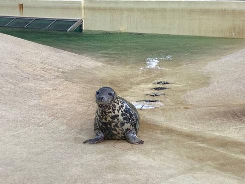 Kegelrobbe Nemi übernimmt symbolische Taufpatenschaft