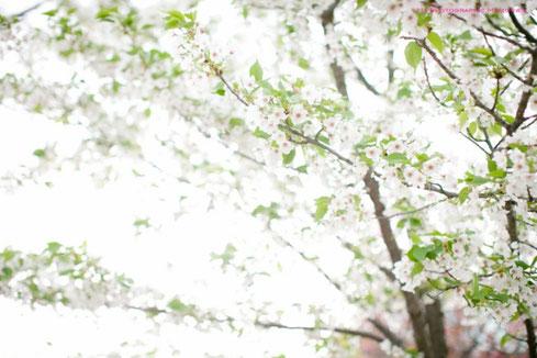 葉桜も美しい