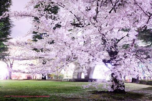 平安神宮近辺の桜