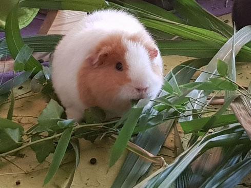 Bambus ist ein exzellentes Winterfutter für Hausmeerschweinchen. Vielen Dank an Tina Meerie.