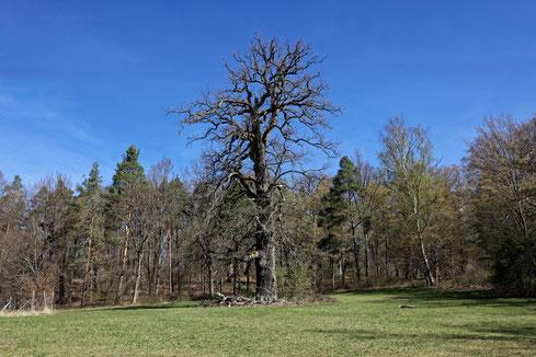 Eiche im Wildtierpark Stuttgart bei Stuttgart