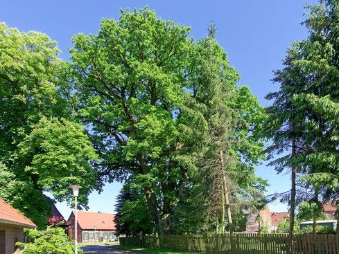 Wappeneiche in Steimke