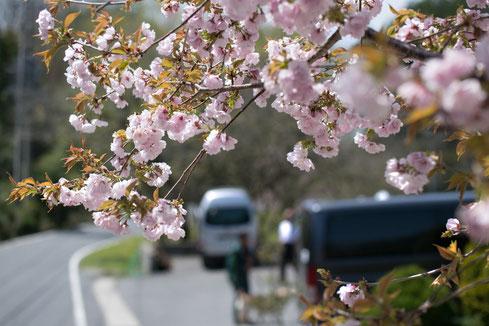 桜咲く4月