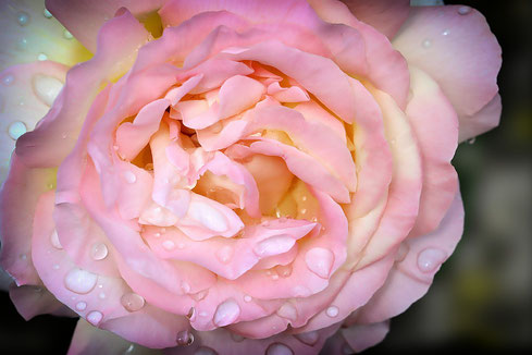 Foto.Pixabay.com  Duft Rose